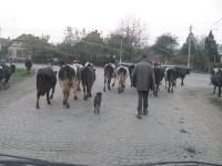 koeien komen thuis